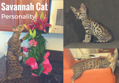 Savannah Cat Personality