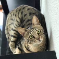 Arya on Cat Shelf