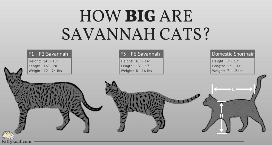 How Big are Savannah Cats?