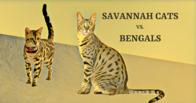 Savannah Cats vs. Bengals – Which Domestic Hybrid Cat is Right for You?