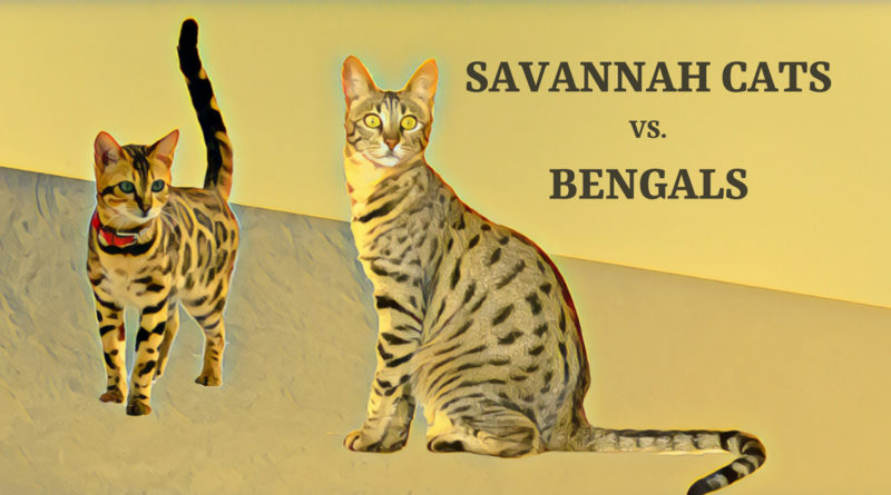 Savannah Cats vs  Bengals – Which Domestic Hybrid Cat is